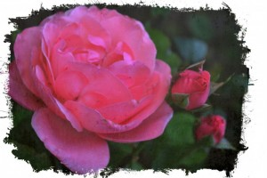 "Day 9~ ""31 Days of PINK"" Life is Short slow down and smell the roses."